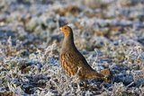 Grey Partridge Male Standing in Frost Covered Grassland Photographic Print