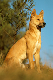 Dingo Adult Male Photographic Print
