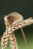 Harvest Mouse on Wheat Lámina fotográfica