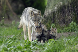 European Grey Wolf Female with 6 Week Old Young Cubs Photographic Print