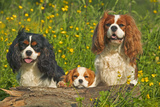 Cavalier King Charles Spaniel Three Sitting Behind Log Photographic Print