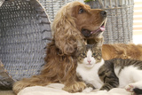 Cocker Spaniel with Tabby and White Cat Photographic Print