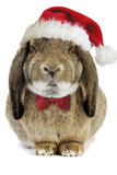 Rabbit Belier Francais Breed Wearing Christmas Photographic Print