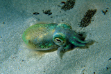 Southern Dumpling Squid Has a Luminescent Light Photographic Print