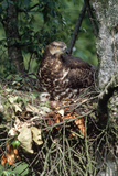 Honey Buzzard at Nest, with Chicks Photographic Print