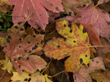 Fallen Highly-Coloured Leaves of Sycamore, Heavily Reprodukcja zdjęcia
