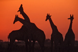 Giraffes 'Necking' at Sunset Photographic Print