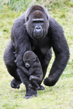 Gorilla Female Carrying Baby Animal Fotografisk tryk