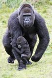 Gorilla Female Carrying Baby Animal Fotodruck