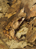 Leaf Frog Close Up Camouflaged in Leaves Photographic Print