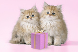 Chinchilla Kittens with Present Photographic Print