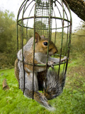 Grey Squirrel Trapped Inside a Squirrel Proof Bird Feeder Photographic Print