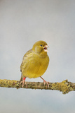 Green Fife Canary Front View Singing, Captive Bred Photographic Print