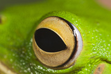 White Lipped Tree Frog Close Up of Eye Photographic Print