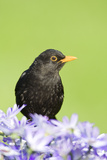 Blackbird Male Photographic Print