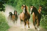 Paso Peruano Horses Galloping, Herd Raising Dust Photographic Print