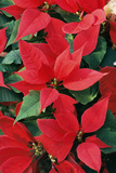 Poinsettia, Christmas Flower Photographic Print