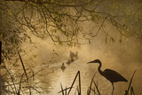 Heron Autumn Mist over Woodland Pond with Ducks Photographic Print