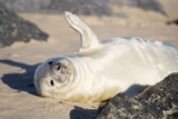 Grey Seal Pup on Beach Waving Flipper Photographic Print