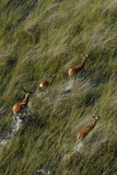 Red Lechwe Aerial View of Red Lechwe Running in Water Photographic Print