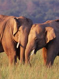 Asian Elephants Photographic Print