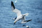 Northern Gannet Diving, at Sea Papier Photo