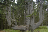 Sitka Spruce, Octopus Tree, Cape Mears, Oregon Coast, USA Photographic Print