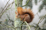 European Red Squirrel Sitting on Branch Photographic Print