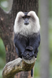 Liontail Macaque Male Sitting on Branch Photographic Print