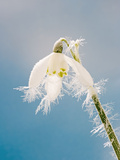 Snowdrop, Frosted Single Bloom Photographic Print