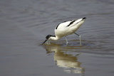 Pied Avocet Feeding Reproduction photographique