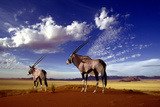Gemsbok Photographic Print