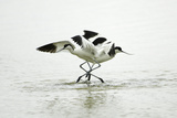 Pied Avocet 2 Birds Fighting over Territory Reproduction photographique