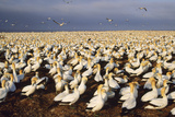 Cape Gannet Breeding Colony Papier Photo