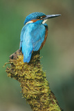 Kingfisher Perched on Moss Covered Tree Stump Reproduction photographique