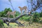 Cheetah Two on Branch Photographic Print