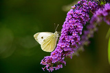Large White Butterfly on Lilac Photographic Print