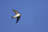 House Martin in Flight Photographic Print