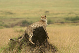 Cheetah Resting on Mound Photographic Print
