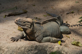 Rhinoceros, Rock Iguana Photographic Print