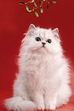 Persian Chinchilla Cat Long-Haired, under Mistletoe Photographic Print