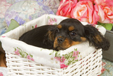 Cavalier King Charles Puppy Lying in Basket Photographic Print