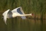 Mute Swan in Flight Impressão fotográfica