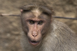 Rhesus Macaque Monkey Close-Up of Head Photographic Print