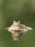 Common Frog Showing Reflection Front View Photographic Print