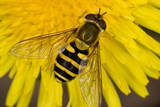 Common Hoverfly on Dandelion Flower Photographic Print