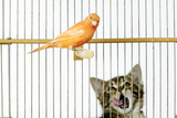 Watching Caged Canary Bird, Licking Lips Photographic Print
