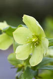 Green Hellebore Photographic Print