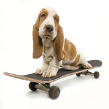 Basset Hound Puppy in Studio on Skateboard Photographic Print