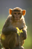 Rhesus Macaque Monkey Photographic Print